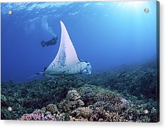 Diver And Ray Acrylic Print by Dave Fleetham - Printscapes