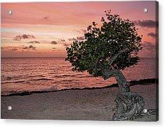 Divi Divi Aruba Acrylic Print by DJ Florek