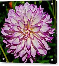 Divine Dahlia Blessings  Acrylic Print