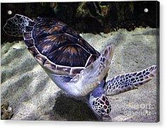 Diving Sea Turtle Acrylic Print by Paulette Thomas