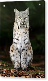 Divinity Acrylic Print by Big Cat Rescue