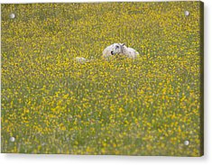 Do Ewe Like Buttercups? Acrylic Print