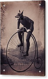 Doberman Velocipede Acrylic Print by Aged Pixel
