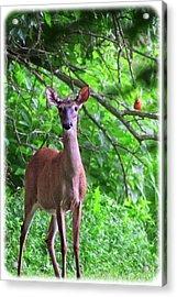 Doe And Cardinal Acrylic Print