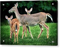 Acrylic Print featuring the photograph Doe And Two Fawns by David A Lane