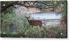 Doe Under Arching Branches Acrylic Print by Chris Bordeleau