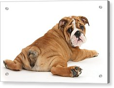 Does My Bum Look Big In This? Acrylic Print