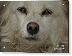 Dog 1 Acrylic Print