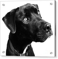 Dog Acrylic Print by Amanda Barcon
