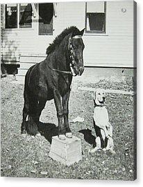 Dog And Pony Show Acrylic Print by Krista Barth