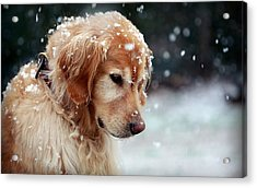 Dog Aww Dog In Snow                  Acrylic Print by F S