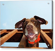 Dog Gone Crazy Acrylic Print by Brook Burling