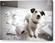 Dog Lying On Bathroom Floor Amongst Shredded Lavatory Paper Acrylic Print by Chris Amaral