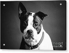 Dog - Monochrome 1 Acrylic Print