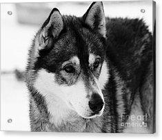 Dog - Monochrome 3 Acrylic Print