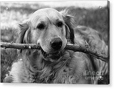 Dog - Monochrome 4 Acrylic Print