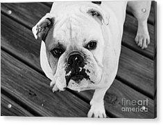 Dog - Monochrome 6 Acrylic Print