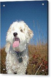 Dog Paintings Dog Oil Paintings Dog Art Dog Prints - Buddy Acrylic Print by Frances Leigh