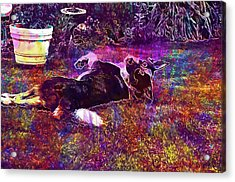 Dog Pet Lazy Animal Afternoon Sun  Acrylic Print