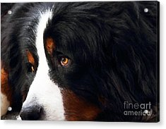 Dog . Photo Artwork Acrylic Print by Wingsdomain Art and Photography