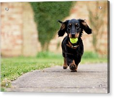 Dog With Ball Acrylic Print by Ian Payne