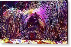 Dog Yorkshire Terrier Lazy Dog  Acrylic Print