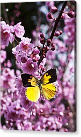 Dogface Butterfly In Plum Tree Acrylic Print by Garry Gay