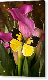 Dogface Butterfly On Pink Calla Lily  Acrylic Print