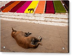 Acrylic Print featuring the photograph Dogs And Saris by Marji Lang