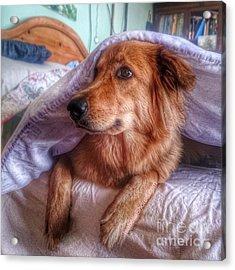 #dogs #darcy #gsd #germanshepherd Acrylic Print