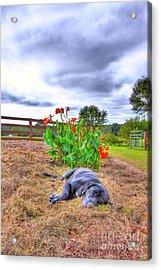 Dog's Life Acrylic Print by Ted Reynolds