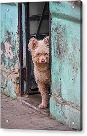 Acrylic Print featuring the photograph Dogs Of Cuba - 2 by Rand