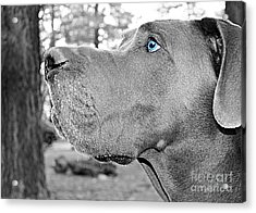 Dogus Acrylic Print