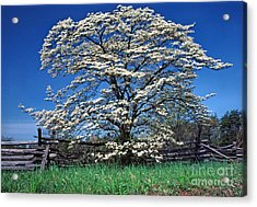 Dogwood And Rail Fence Acrylic Print by Thomas R Fletcher