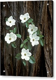 Dogwood And Redwod Acrylic Print