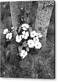 Dogwood And Tree Acrylic Print