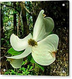 Dogwood Blossom II Acrylic Print by Julie Dant