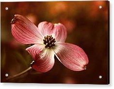 Dogwood Blossom Acrylic Print by Jessica Jenney