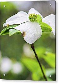 Dogwood Blossom Standing Acrylic Print