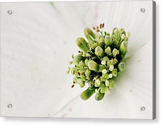 Dogwood Blossom Acrylic Print by Stephanie Frey