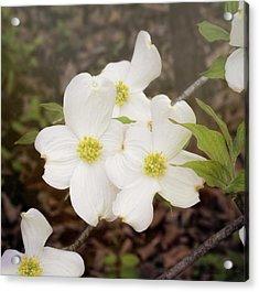 Dogwood Blossom Trio Acrylic Print