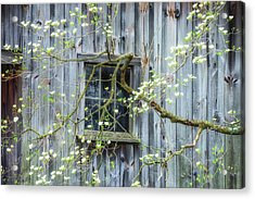 Dogwood Blossoms- Rejuvination  Acrylic Print by Thomas Schoeller