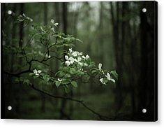 Dogwood Branch Acrylic Print