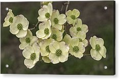 Dogwood Dance In White Acrylic Print by Don Spenner