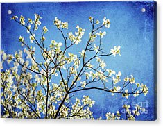 Dogwood Dreams Acrylic Print by Joan McCool
