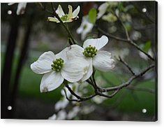 Acrylic Print featuring the photograph Dogwood by Linda Geiger