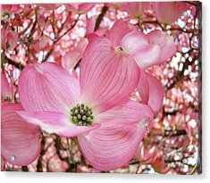 Dogwood Tree 1 Pink Dogwood Flowers Artwork Art Prints Canvas Framed Cards Acrylic Print by Baslee Troutman