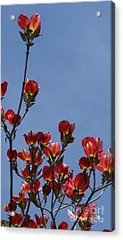 Acrylic Print featuring the photograph Dogwood by Victor K