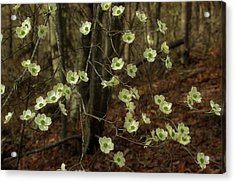 Acrylic Print featuring the photograph Dogwoods In The Spring by Mike Eingle