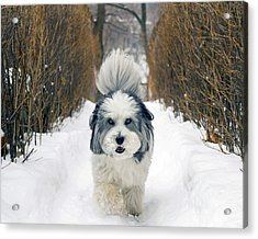 Acrylic Print featuring the photograph Doing The Dog Walk by Keith Armstrong